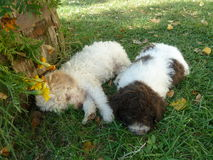 Two small poodles i. N the grass Stock Photos