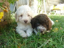 Two small poodles i. N the grass Royalty Free Stock Image