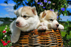 Two small puppies of the husky in a basket. Two small amusing puppies of the husky in a basket in a kitchen garden Royalty Free Stock Images