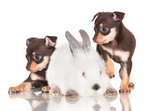 Two small puppies with a rabbit Stock Image