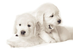 Two small puppies sitting together Royalty Free Stock Photos