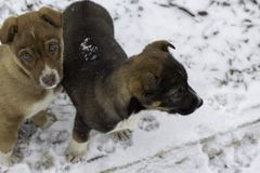 Two small puppies on a snowy road, one dark brown looks into the distance, the second light brown looks up royalty free stock image