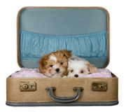 Two small puppies in a vintage suitcase Royalty Free Stock Photo
