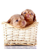 Two small puppies in a wattled basket. Royalty Free Stock Image