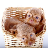 Two small puppies in a wattled basket. Royalty Free Stock Photos