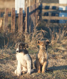 Two small puppy Royalty Free Stock Photos