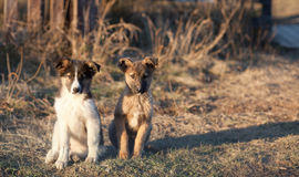 Two small puppy Royalty Free Stock Photo