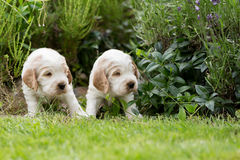 Two small purebred English Cocker Spaniel puppy Royalty Free Stock Image