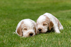 Two small purebred English Cocker Spaniel puppy Stock Photography