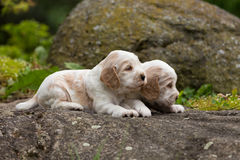 Two small purebred English Cocker Spaniel puppy Stock Images