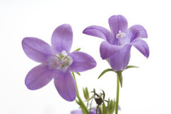 Two Small Purple Bells on White Royalty Free Stock Photography