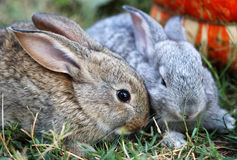 Two small rabbits Royalty Free Stock Image