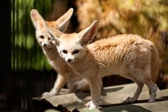 Two small red fennec stock photo