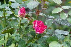 Two small red roses in the garden. Summer rain drops on pink bush. stock photo