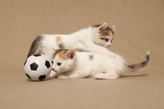 Two small spotted kitten Royalty Free Stock Image