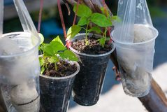 Two small sprouts are planted in plastic water cup hanging on a wooden bar stock photo