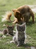Two small striped gray kittens and a red dog sitting on a sunny day in backlight on green grass Stock Photos