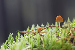 Two small toadstools closeup Royalty Free Stock Photo