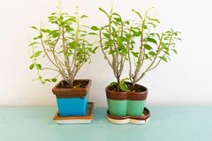 Two small tree in squre and heart shape pots each stock image