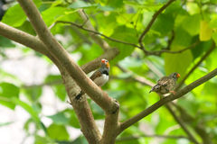 Two small tropical bird on a branch Royalty Free Stock Image