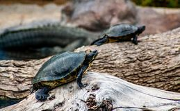Two small turtles goes over a rock stock images