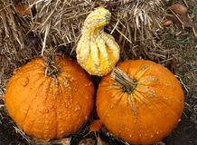 Two small warty pumpkins and a gourd stock images