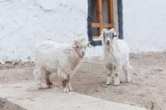 Two small white furry baby goat outside house Stock Photography