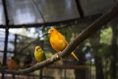Two small yellow canaries sitting on a branch. In zoo stock photos