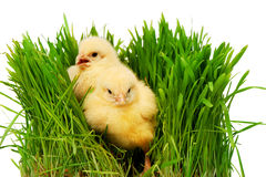 Two small yellow chickens in green grass,  on white Royalty Free Stock Images
