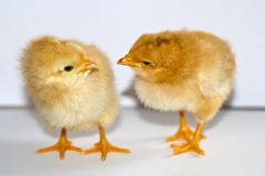 Two small yellow chicks standing and looking at each other head Stock Image