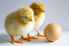 Two small yellow chicks standing, looking at the egg on a white Stock Image