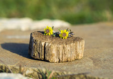 Two small yellow flower on a tree stump Stock Photo