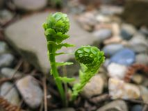 Two small young green sprouts of Matteuccia struthiopteris ostrich fern, fiddlehead fern or shuttlecock fern against background stock image