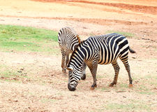 Two small zebra eating  grass Royalty Free Stock Photography