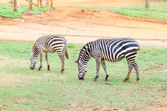 Two small zebra eating  grass Royalty Free Stock Image