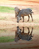 Two small zebra eating  grass with water reflection Royalty Free Stock Photo