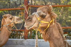Two Smiling Camels in Cozumel Mexico Royalty Free Stock Image