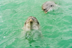 Two smiling dolphins Stock Images