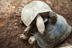 Two smiling tortoise friends playing Royalty Free Stock Photography
