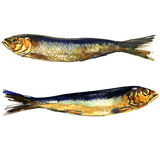 Two smoked sprats fish closeup isolated, watercolor illustration on white. Background Stock Photos