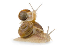Two snail. Royalty Free Stock Image
