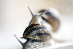 Two Snail Stock Photo