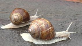 Two snail crawl and play on the wooden table stock video