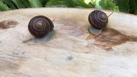 Two snail crawling on a tree stump. Timelapse stock video