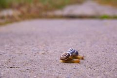 Two Snail creep on a suburban road after rain royalty free stock images