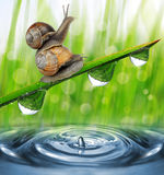 Two snail on dewy grass close up. Stock Photo