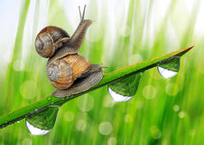 Two snail on dewy grass close up. Royalty Free Stock Photos