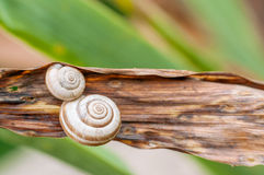 Two snail shells on plant closeup Stock Photography