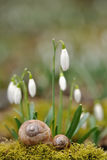 Two snail shells with snowdrops. In background Stock Image