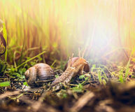 Two snail in sunny grass, outdoor Royalty Free Stock Photo